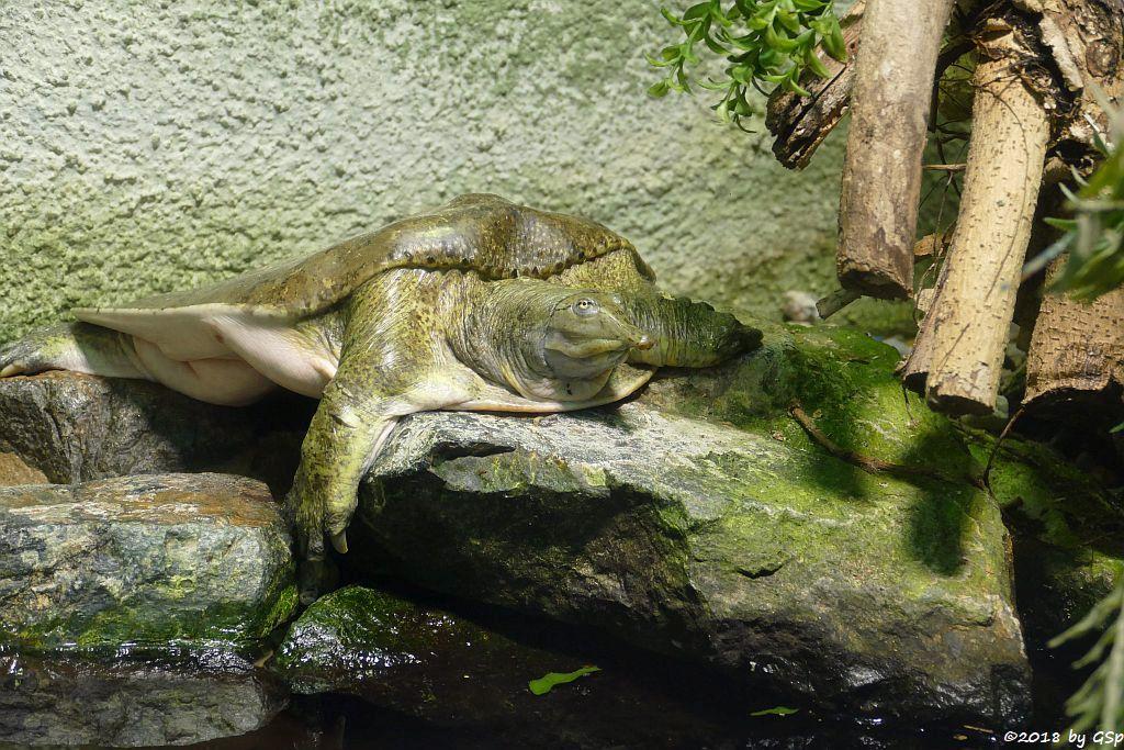 Dornrand-Weichschildkröte (Dornenrand-Weichschildkröte)