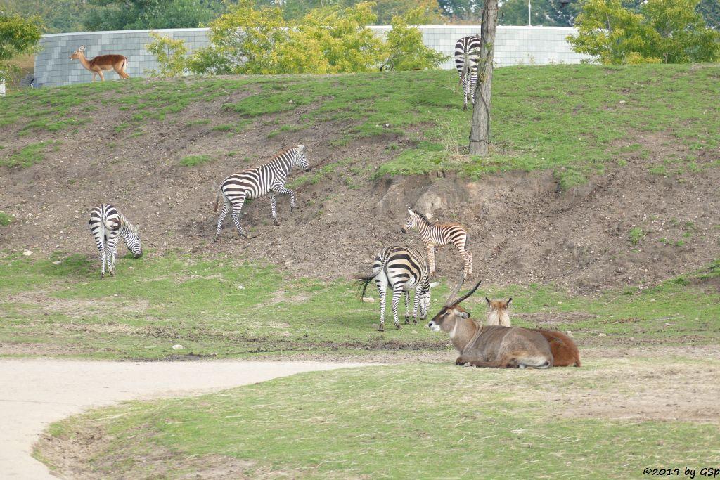 Gewöhnliche Impala (Schwarzfersenantilope), Böhm-Steppenzebra (Grant-Zebra), Defassa-Wasserbock (Roter Wasserbock)