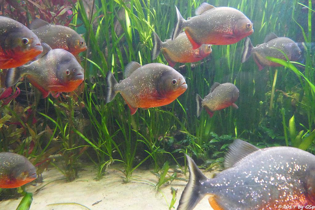Roter Piranha (Natterers Sägesalmler)