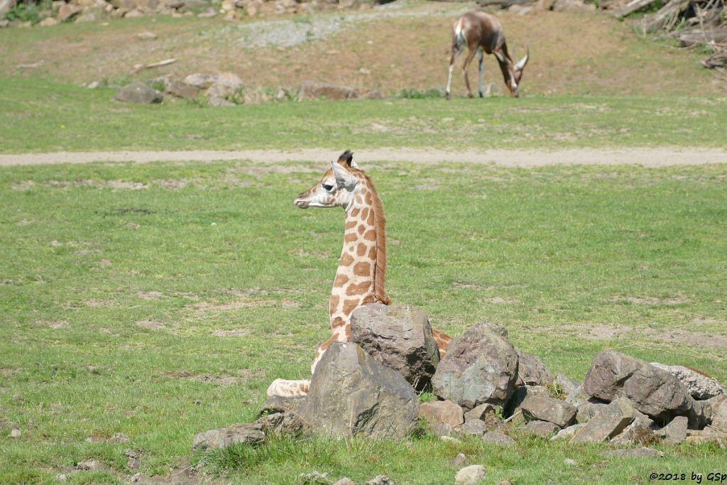 Rothschildgiraffe (Uganda-Giraffe, Baringo-Giraffe), Blessbock