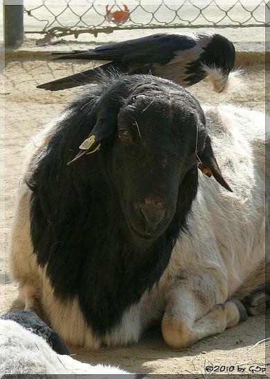 Somali-Schwarzkopfschaf