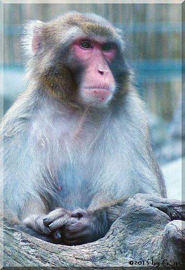 Japan- (Rotgesichts-)makak