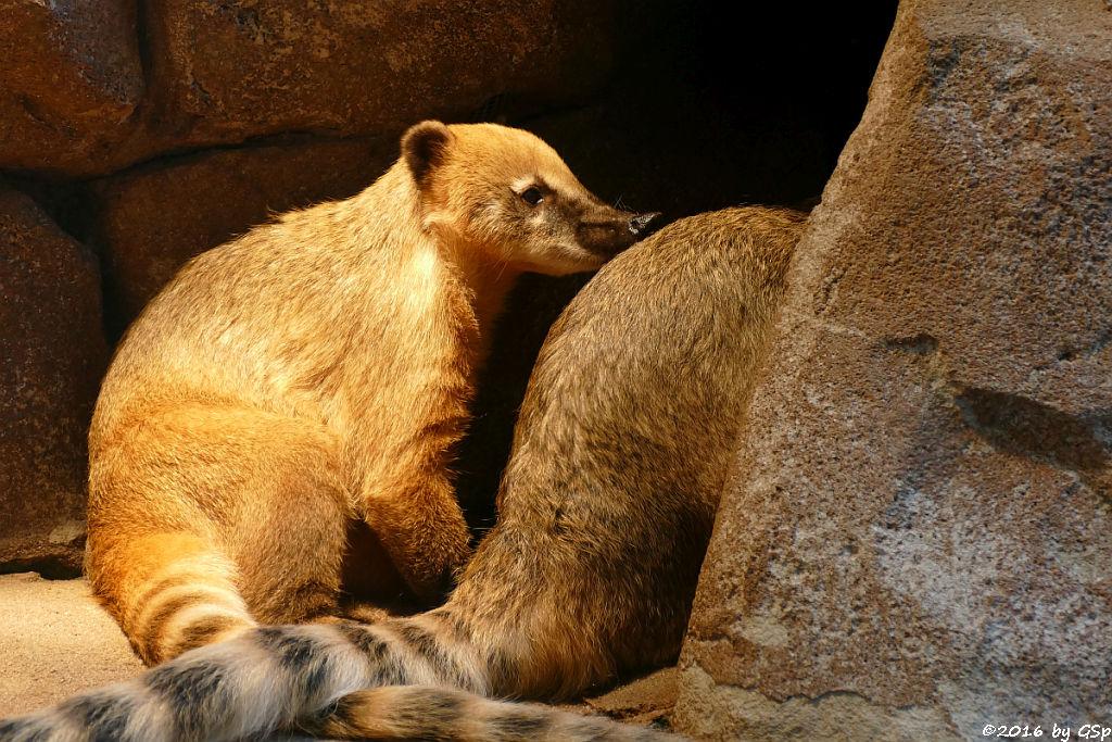 Roter Nasenbär (Gewöhnlicher Nasenbär, Südamerikan. Nasenbär)