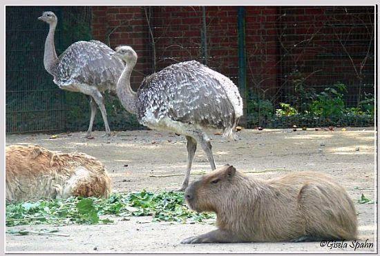 Capybara und Darwin-Nandu