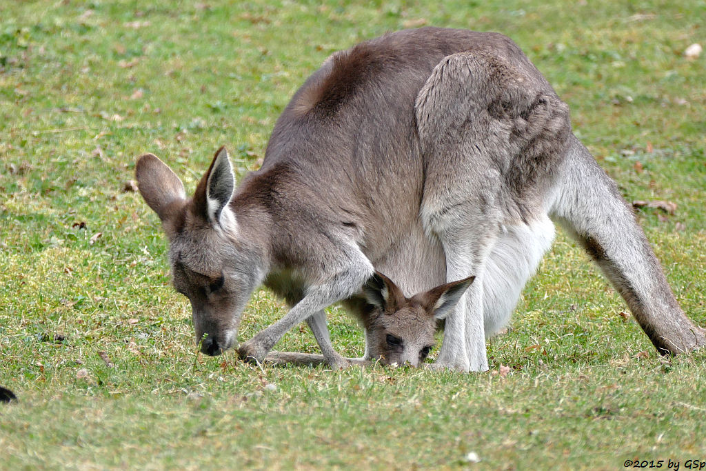 Bennett-Känguru (Rotnacken-Wallaby)