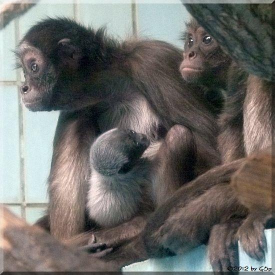 Goldstirnklammeraffe SHAKIRA mit ihrem Sohn EMMANUEL und ZAC