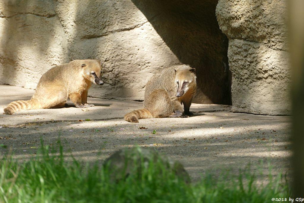 Roter Nasenbär (Gewähnlicher Nasenbär, Südamerikanischer Nasenbär)