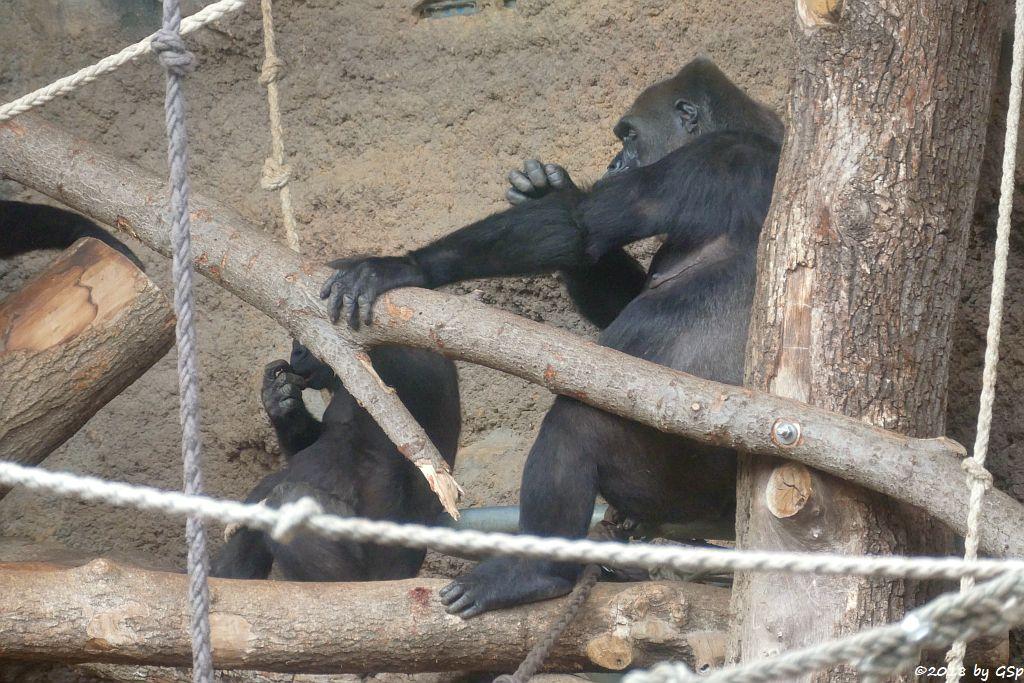 Flachlandgorilla SAWA und REBECCA