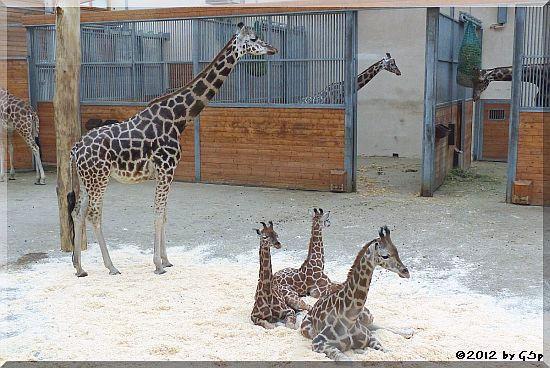 Rothschild-Giraffe LARA, MELMAN und KALOU