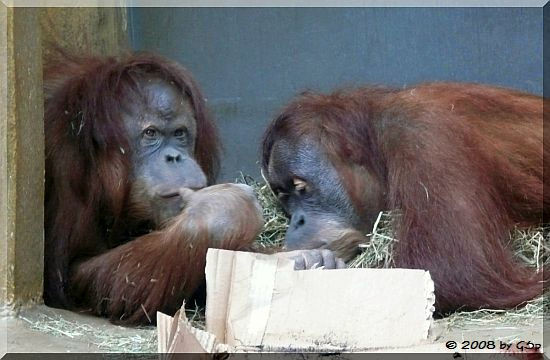 Sumatra-Orang-Utan ZORA und ...