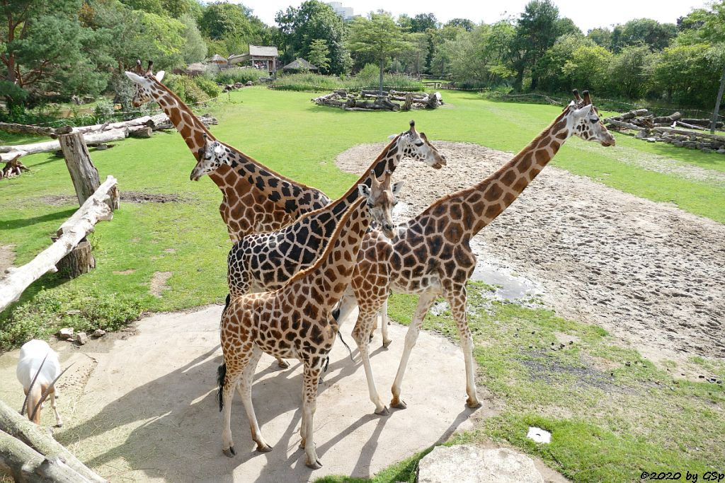 Säbelantilope, Rothschildgiraffe (Uganda-Giraffe, Baringo-Giraffe), Weißnacken-Moorantilope (Mrs. Grays Wasserbock)