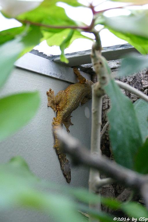 Faltengecko (Kuhls Faltengecko)
