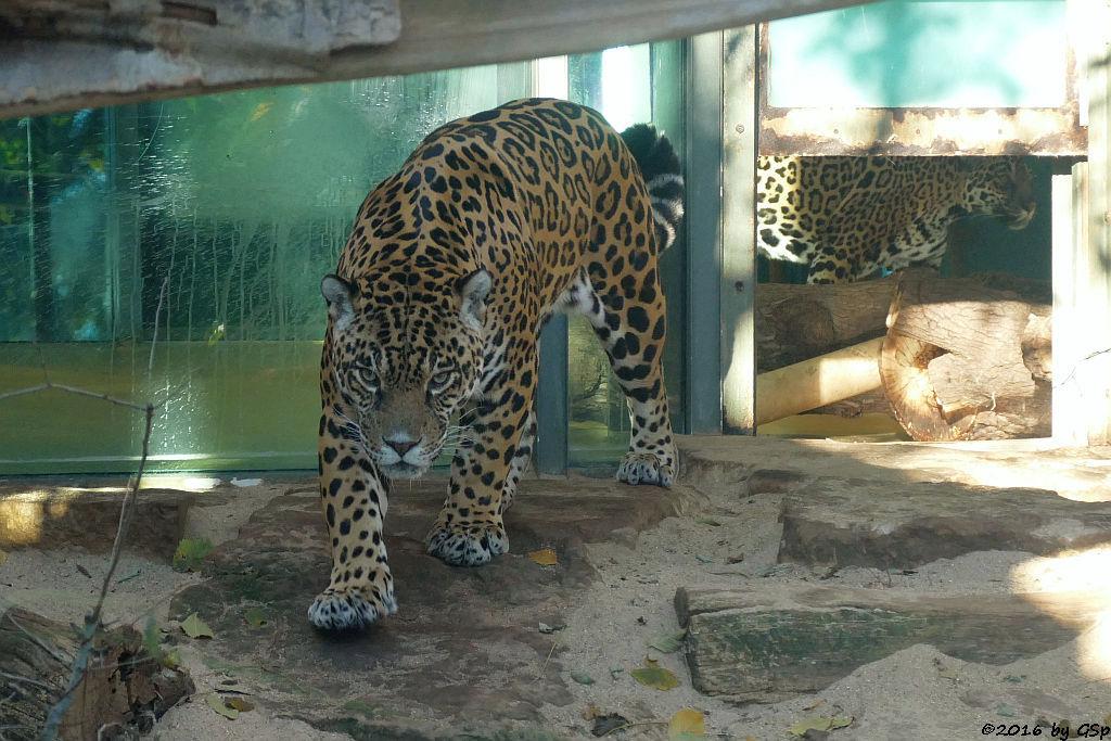 Jaguar MUPPET