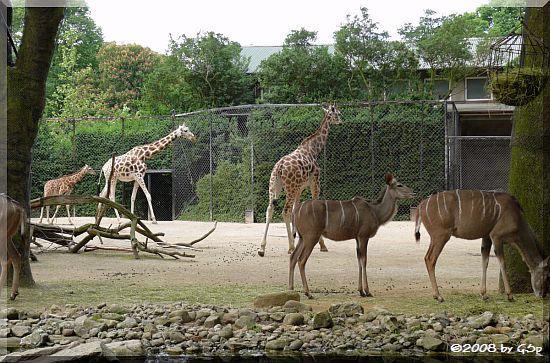 Großer Kudu und Rothschildgiraffe