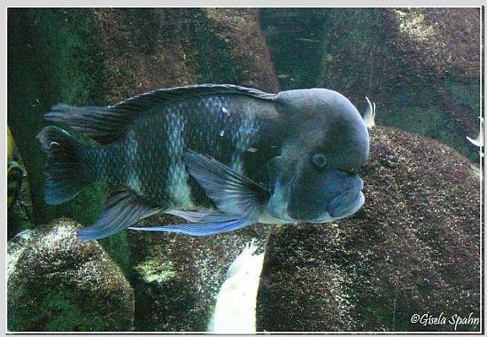 Blauer Beulenkop