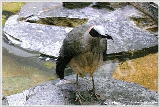 Blaustirn-Stelzenkrähe(die letzte weltweit in einem Zoo gehaltete gest. Ende 2008