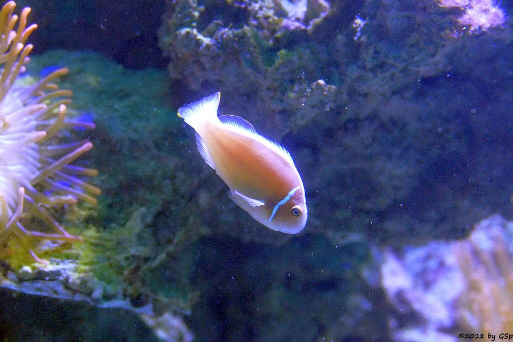 Kragen-Weißrückenclownfisch (Weißstirn-Anemonenfisch)