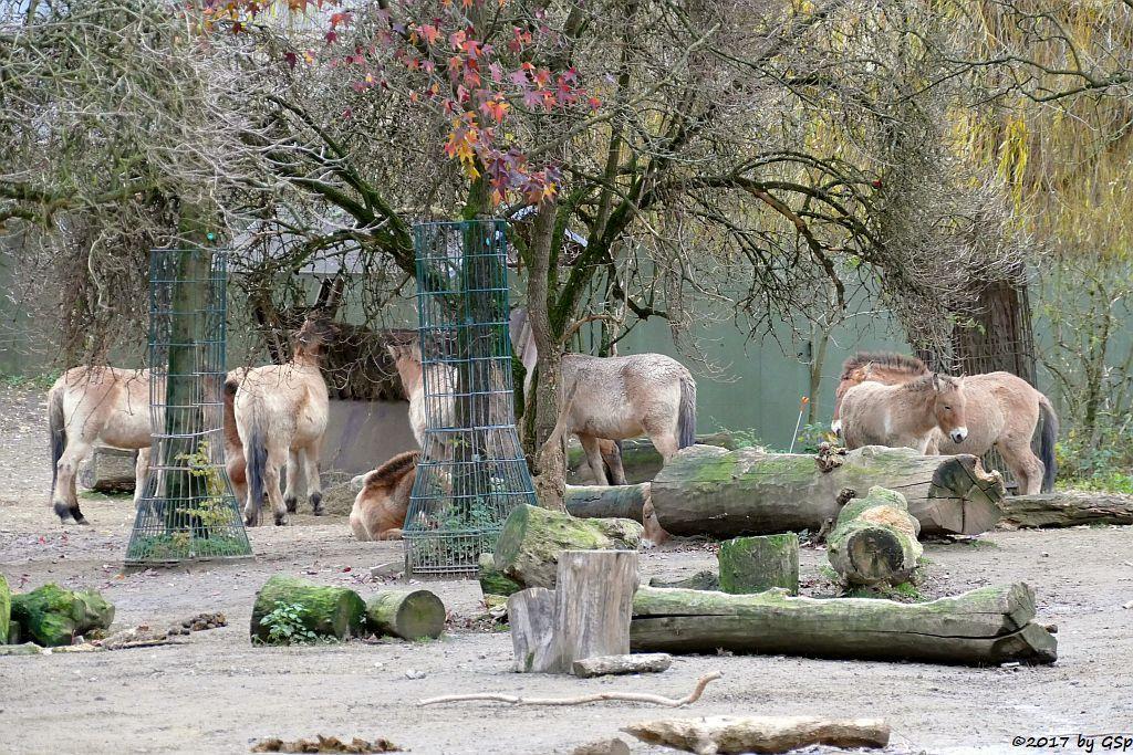 Przewalskipferd (Przewalski-Urwildpferd, Asiatisches Wildpferd)