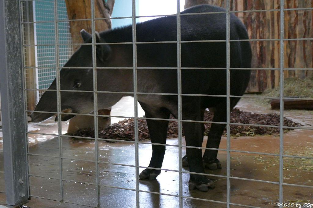 Mittelamerikanischer Tapir (Bairds Tapir)