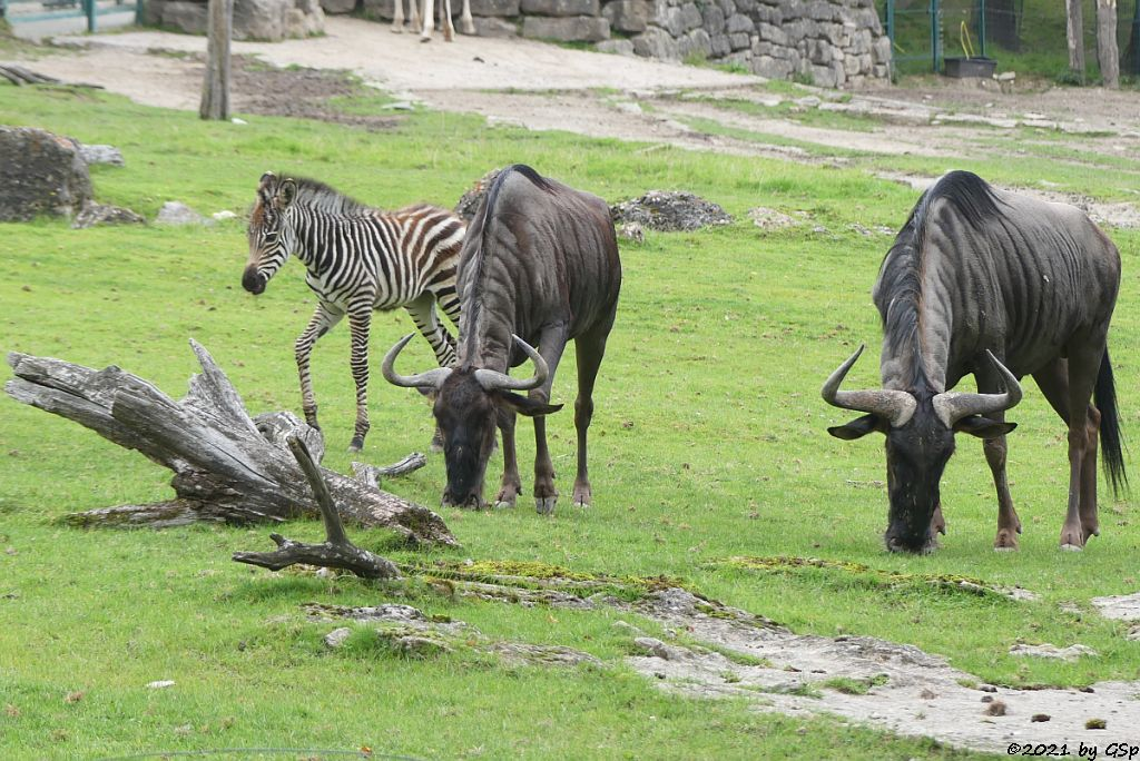 Böhm-Steppenzebra (Grant-Zebra) BAKARI, geb. 21.8.21, Südliches Streifengnu (Blaues Gnu)