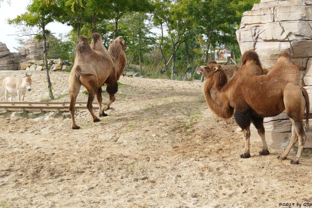 901 P1780763 Onager (Persischer Halbsesel), Trampeltier (Zweihöckriges Kamel, Hauskamel)