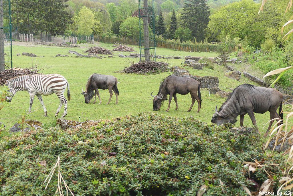 Böhm-Steppenzebra (Grant-Zebra), Südliches Streifengnu (Blaues Gnu),