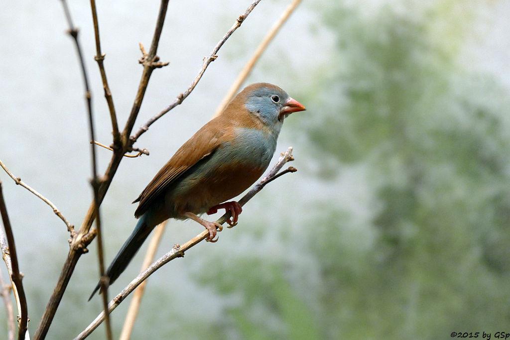 Blaukopf-Schmetterlingsfink