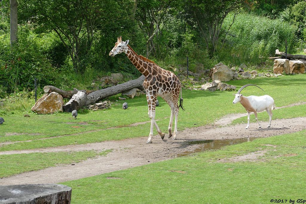 Helmperlhuhn, Rothschildgiraffe (Uganda-Giraffe, Baringo-Giraffe), Säbelantilope