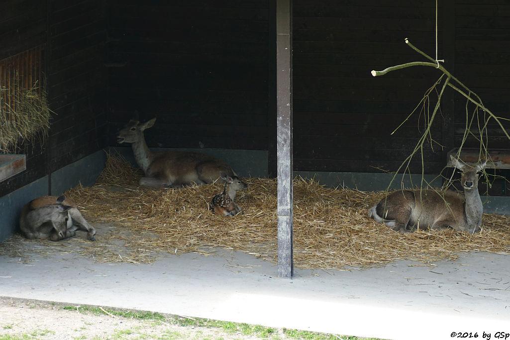 Buchara-Hirsch, Jungtier geb. am 17.6.16