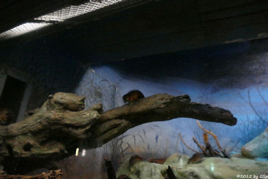 Australische Schwimmratte (Goldbauch-Schwimmratte)