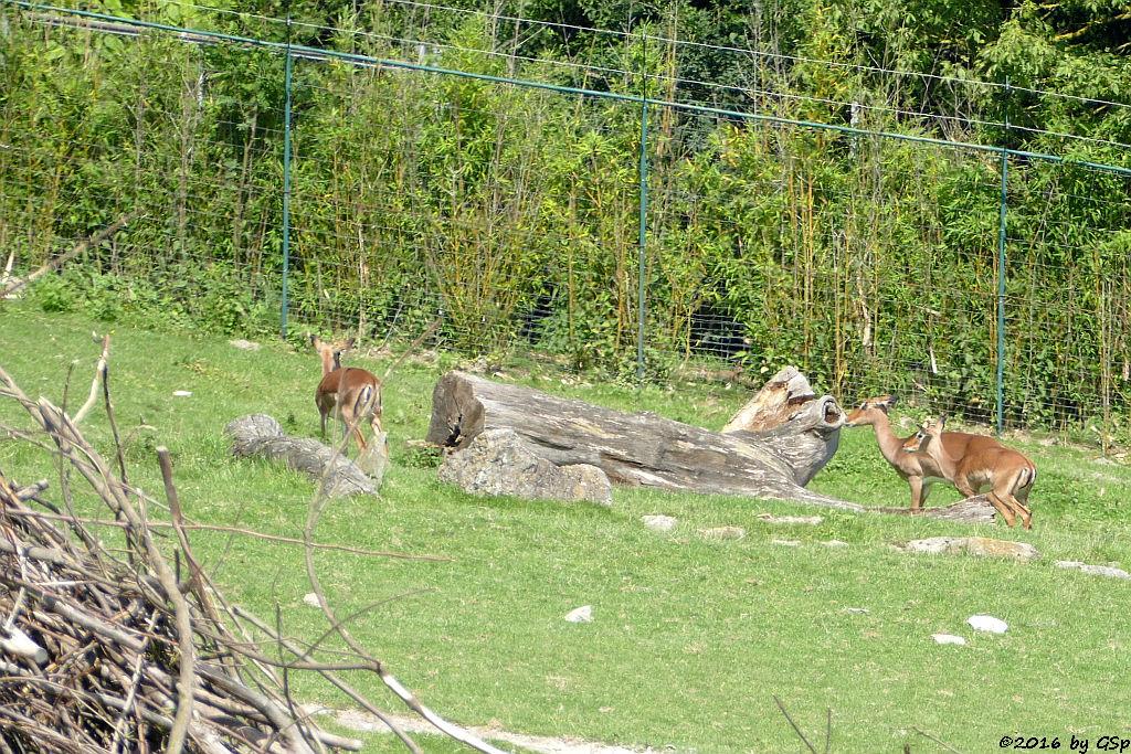 Impala (Schwarzfersenantilope), Streifengnu