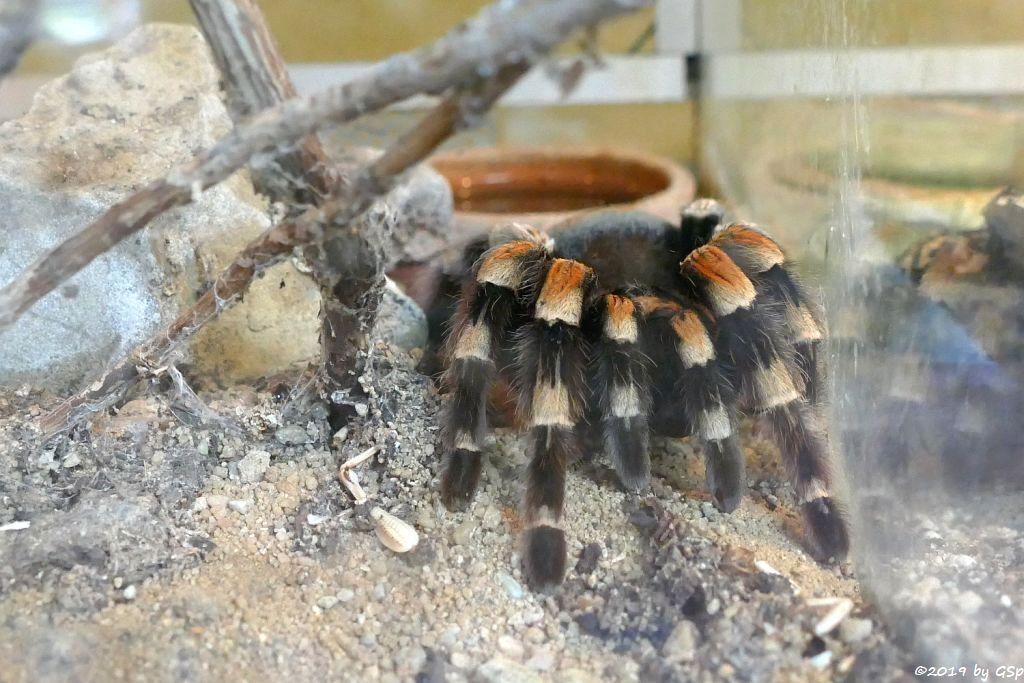 Mexikanische Rotknie-Vogelspinne