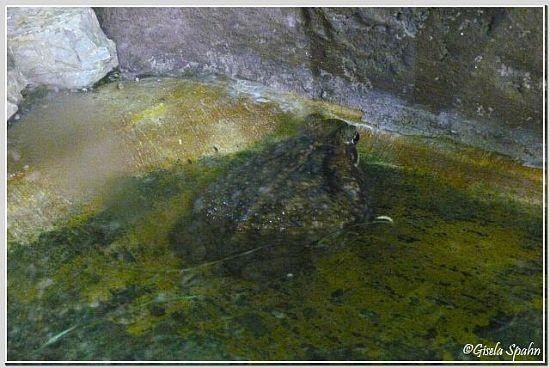 Aga- oder Riesenkröte