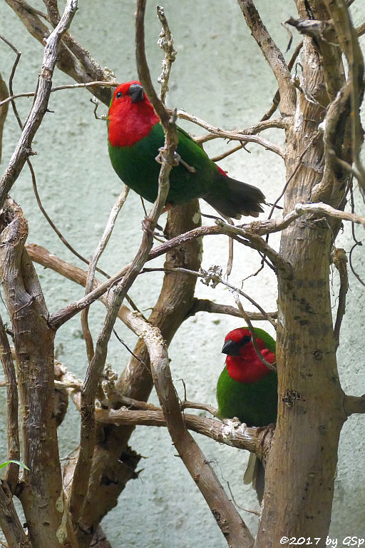 Rotkopf-Papageiamadine (Rotköpfkige Papageiamadine)