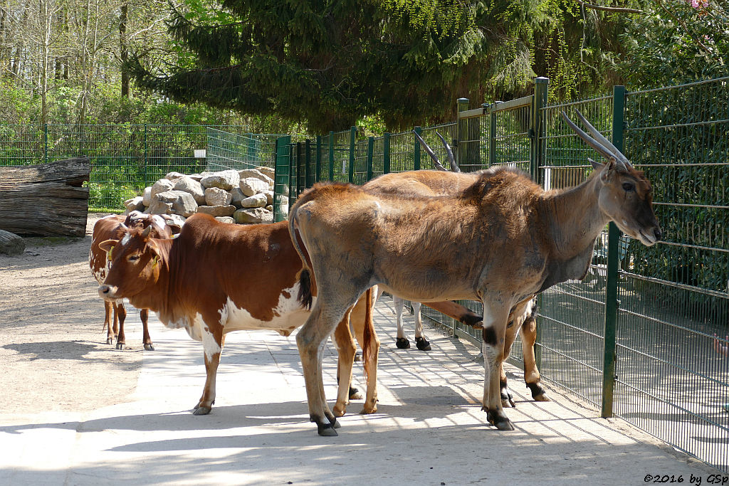 Zwerg-Zebu, Elen-Antilope