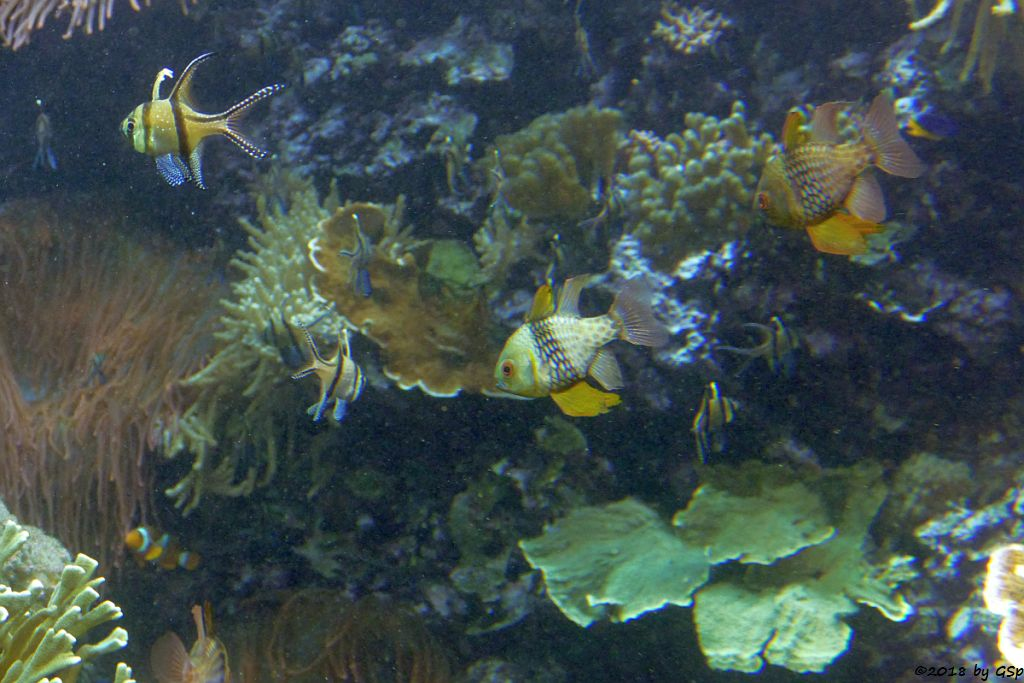 Banggai-Kardinalbarsch (Molukken-Kardinalfisch, Zebra-Kardinalfisch), Pyjama-Kardinalbarsch (Wimpelkardinalbarsch)