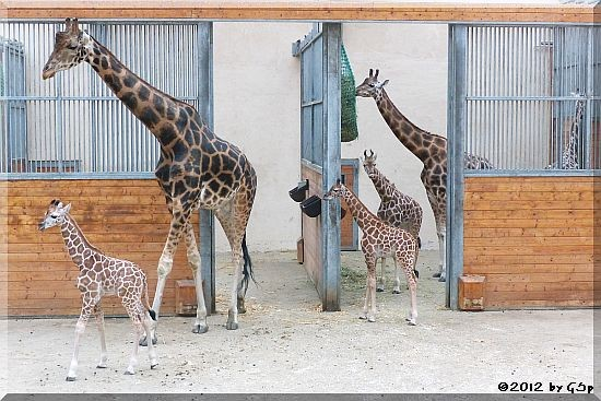 Rothschild-Giraffe MELMAN, LARA und KALOU