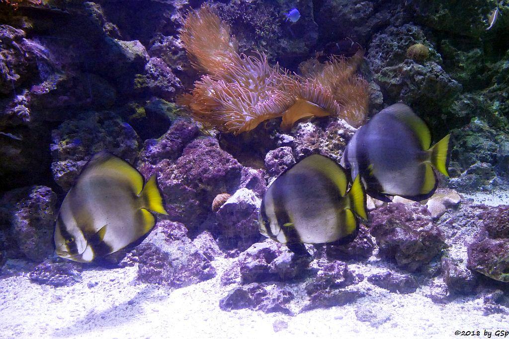 Rundkopf-Fledermausfisch (Gelbflossen-Fledermausfisch, Gewöhnlicher Fledermausfisch)