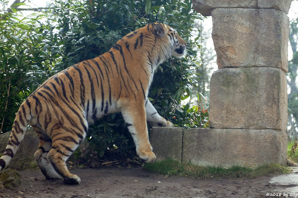 Amurtiger (Sibirischer Tiger, Mandschu-Tiger)