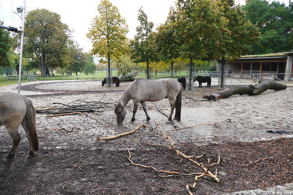 Dülmener Pferd, Shetland-Pony