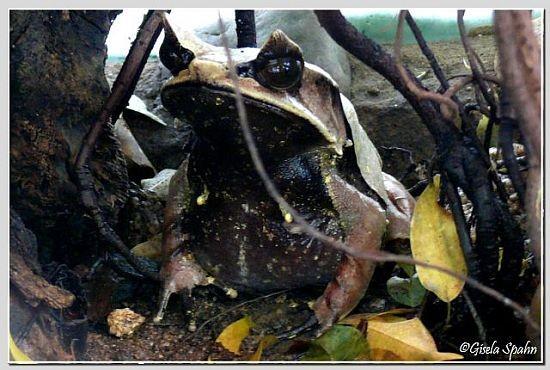 Zipfelfrosch