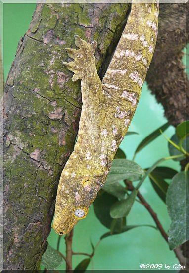 Neukaledonischer Riesengecko