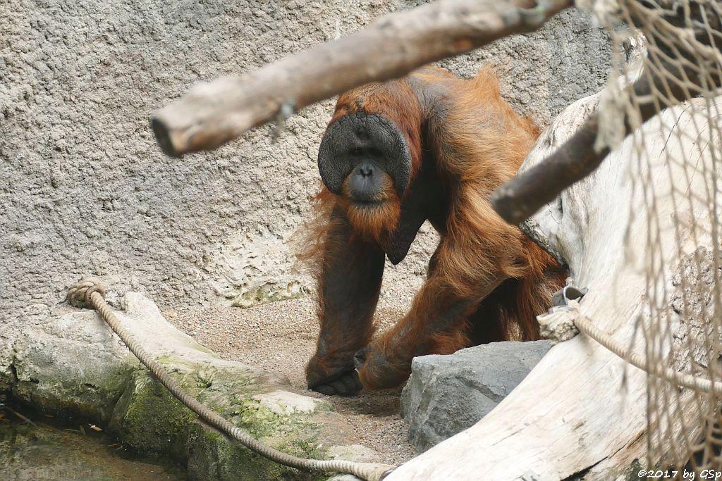 Sumatra-Orang-Utan TUAN