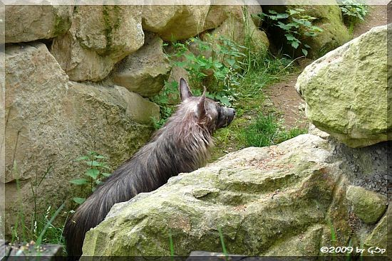 Schabracken-Hyäne