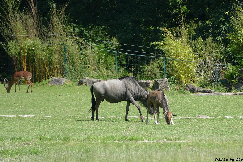 Impala (Schwarzfersenantilope), Streifengnu, Jungtier geb. am 14.5.16