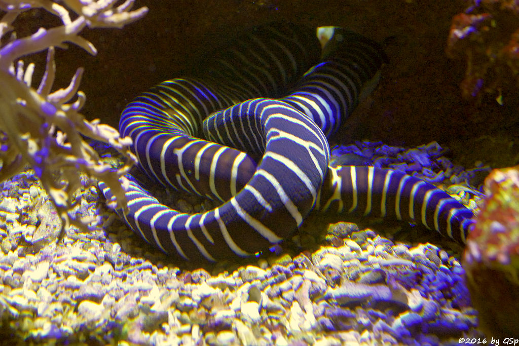 Zebramuräne