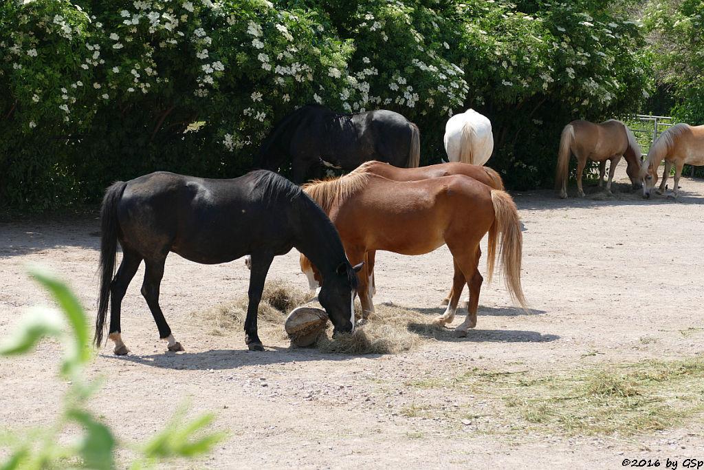 P1400410 Deutsches Reitpony, Shire Horse, Haflinger