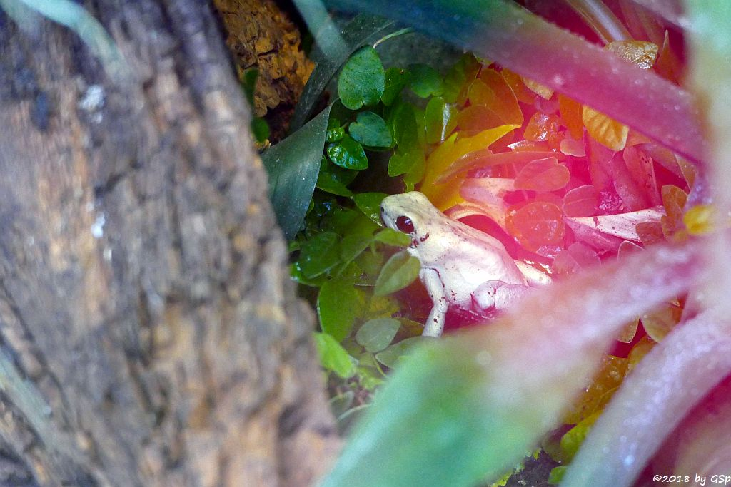 Goldener Pfeilgriftfrosch (Schrecklicher Pfeilgiftfrosch)