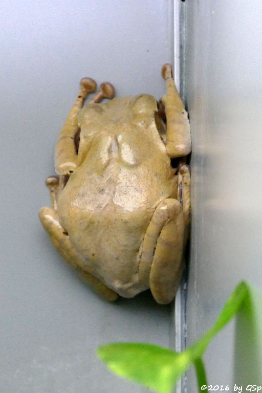Weißbart-Ruderfrosch
