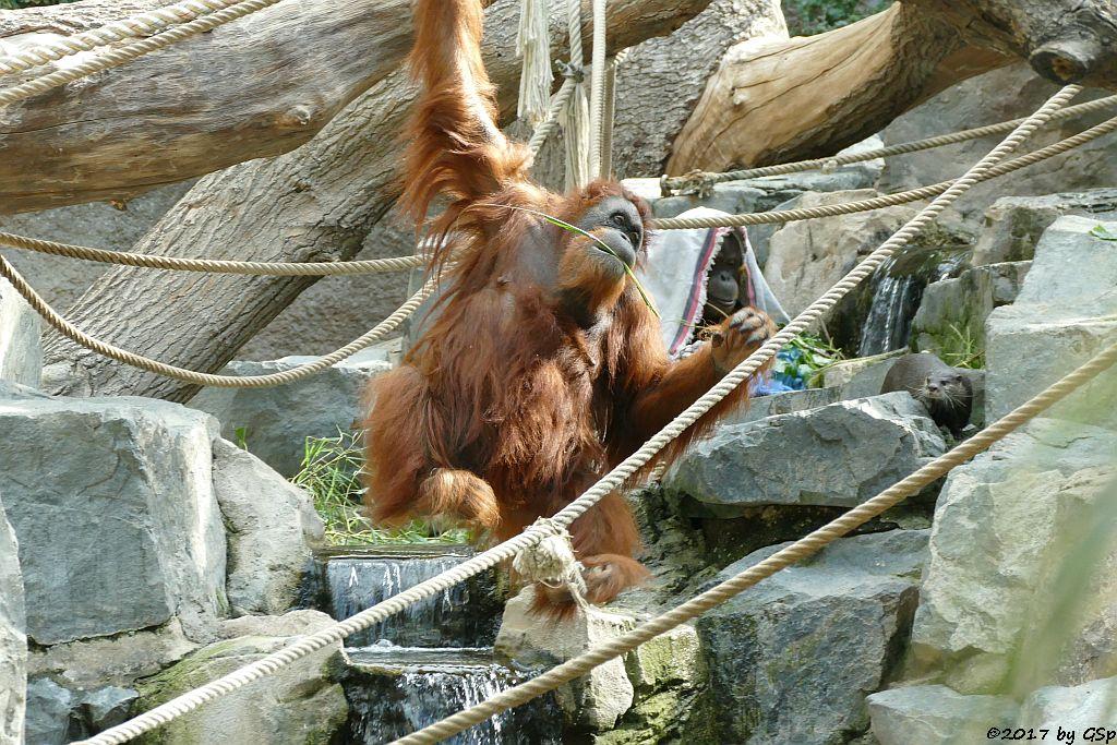 Sumatra-Orang-Utan, Zwergotter (Kurzkrallenotter)